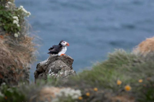 250619-puffin-on-a-rock