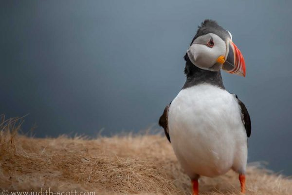 250619-windy-puffin