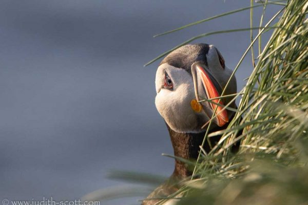 another-peeking-puffin