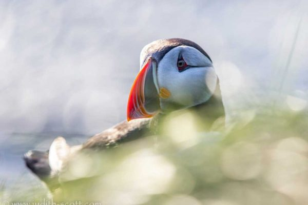 another-puffin