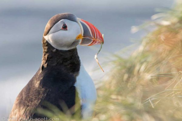 new-puffin-with-twig