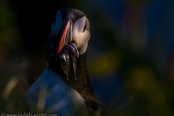 puffin-arty-with-food